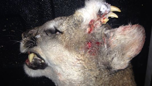 635877923827790278-Deformed-mountain-lion-Idaho-Fish-and-Game_1452225250503_36436_ver1.0